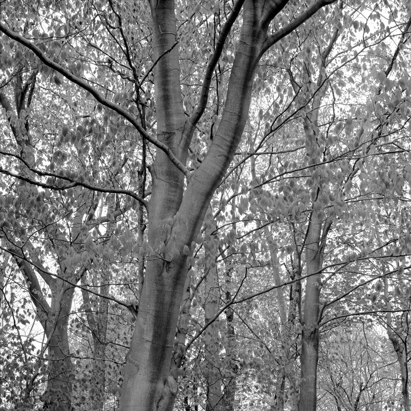 Beech Sentinels, 2003. My brother calls this the musclewood tree. The road past our farm is Beech Road; named after these trees.