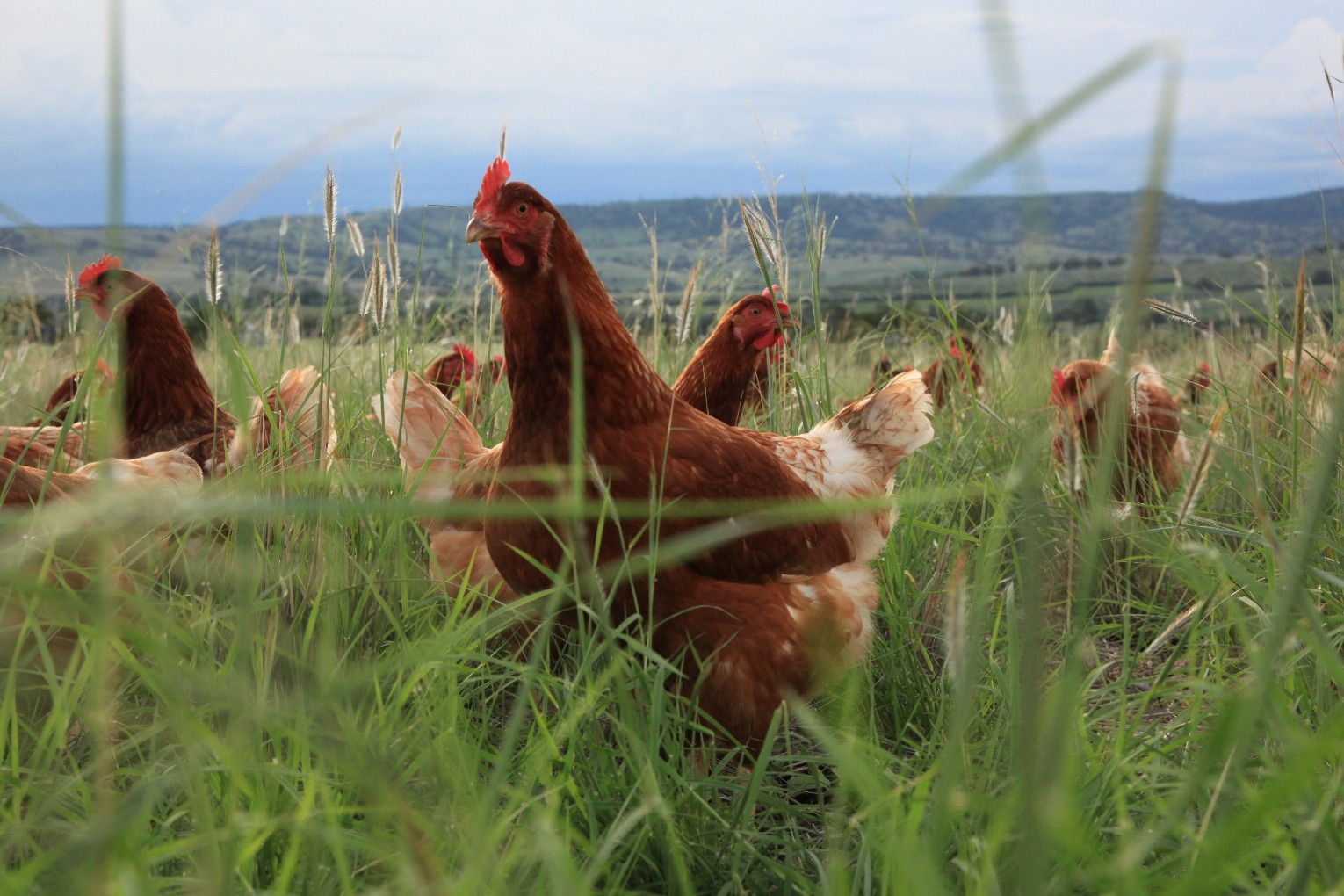 Bega Valley Eggs   Bega Valley Eggs takes great care of their laying hens. They have access to lush, grassy pastures where they can roam around in the sunshine, indulge in dust baths, eat vegetation and bugs and basically enjoy their day-to-day lives. Rotational management is used whereby the hens are given a different quarter acre every few days so their food is always fresh and plentiful and the pastures regenerate.  At night, the hens are housed in pristine, protected huts where they can roost on their perches and the manure drops through to fertilise the soil. The soil is rested to allow for pasture improvement year on year.