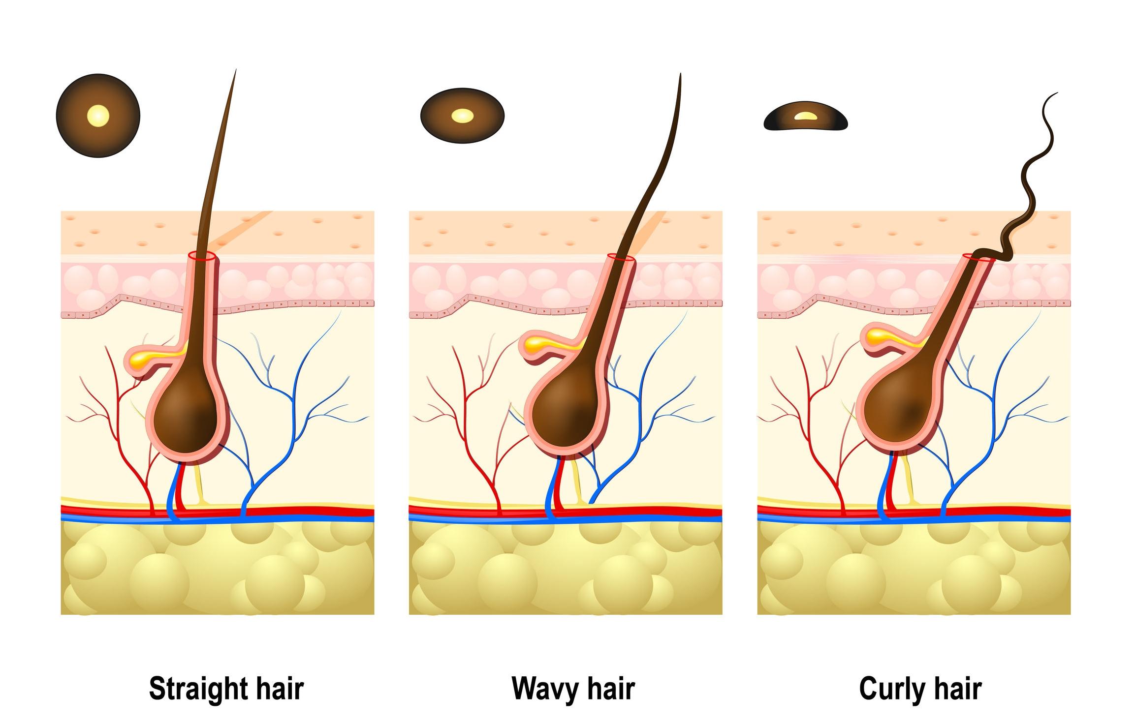 follicle types.jpg