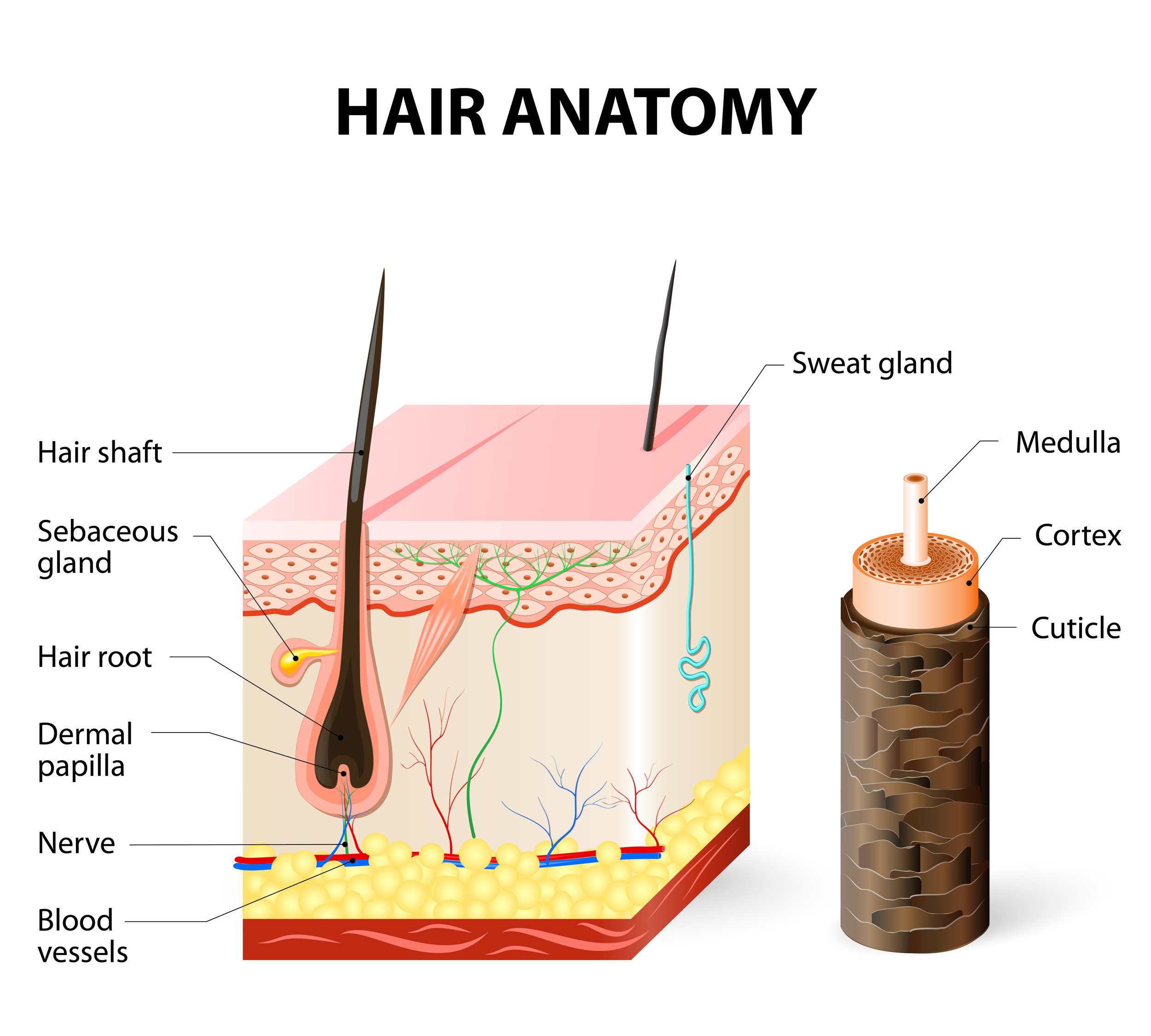 hair follicle anatomy.jpg