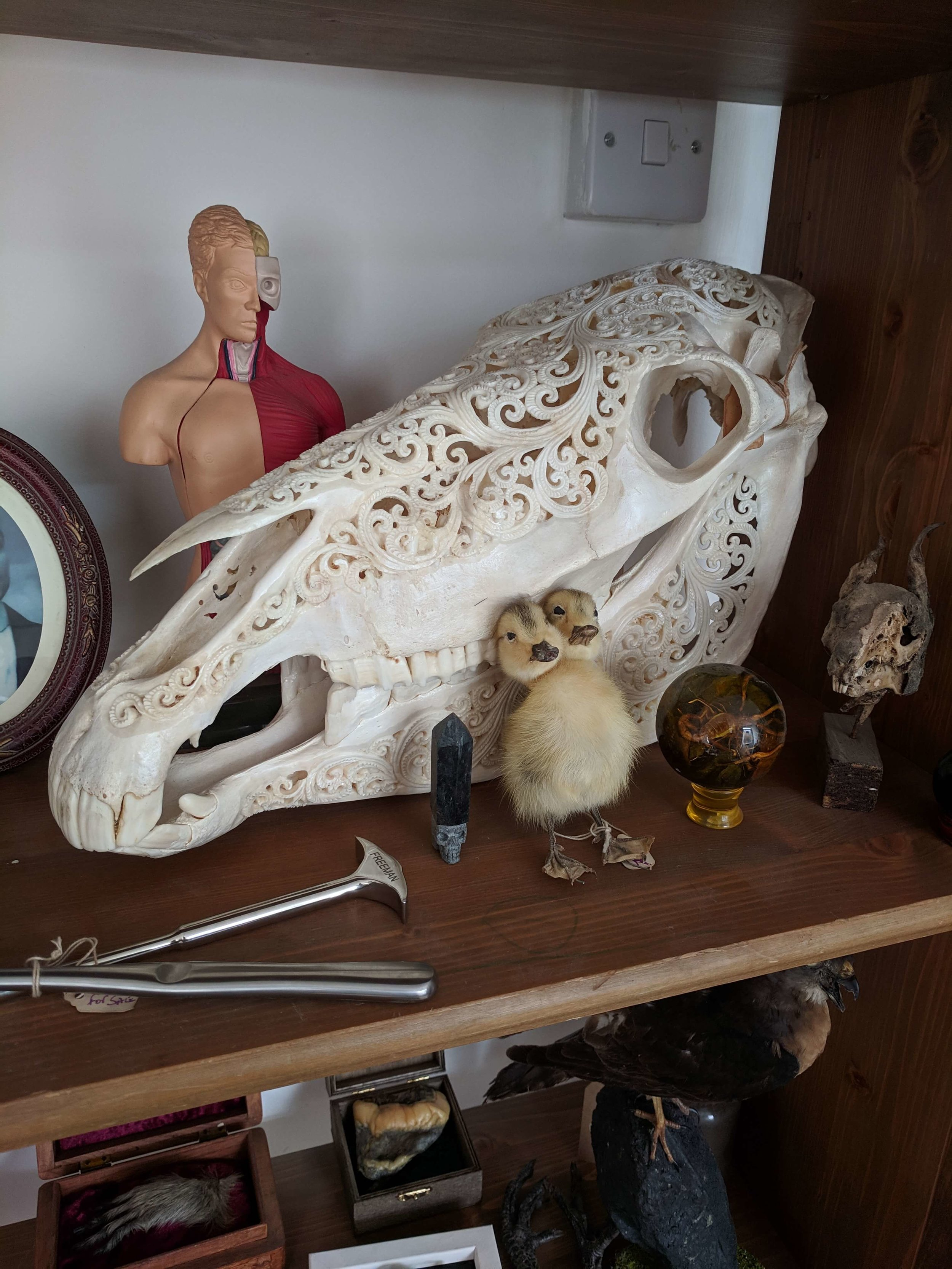 An ornately carved horse skull, two-headed duckling, and some lobotomy tools