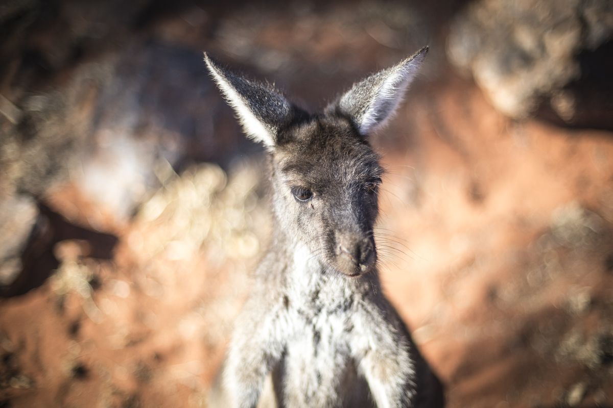 Chardy the roo of Laverton-22-1[1].jpg