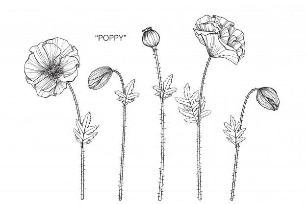poppy-flower-drawing-illustration_35970-243.jpg