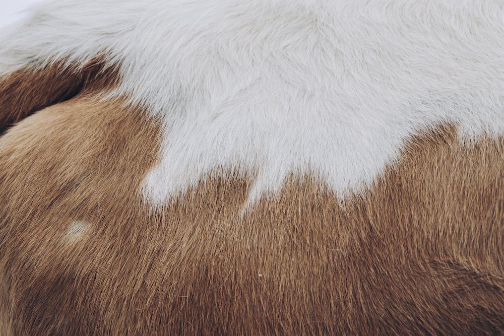 cow hide8843.jpg