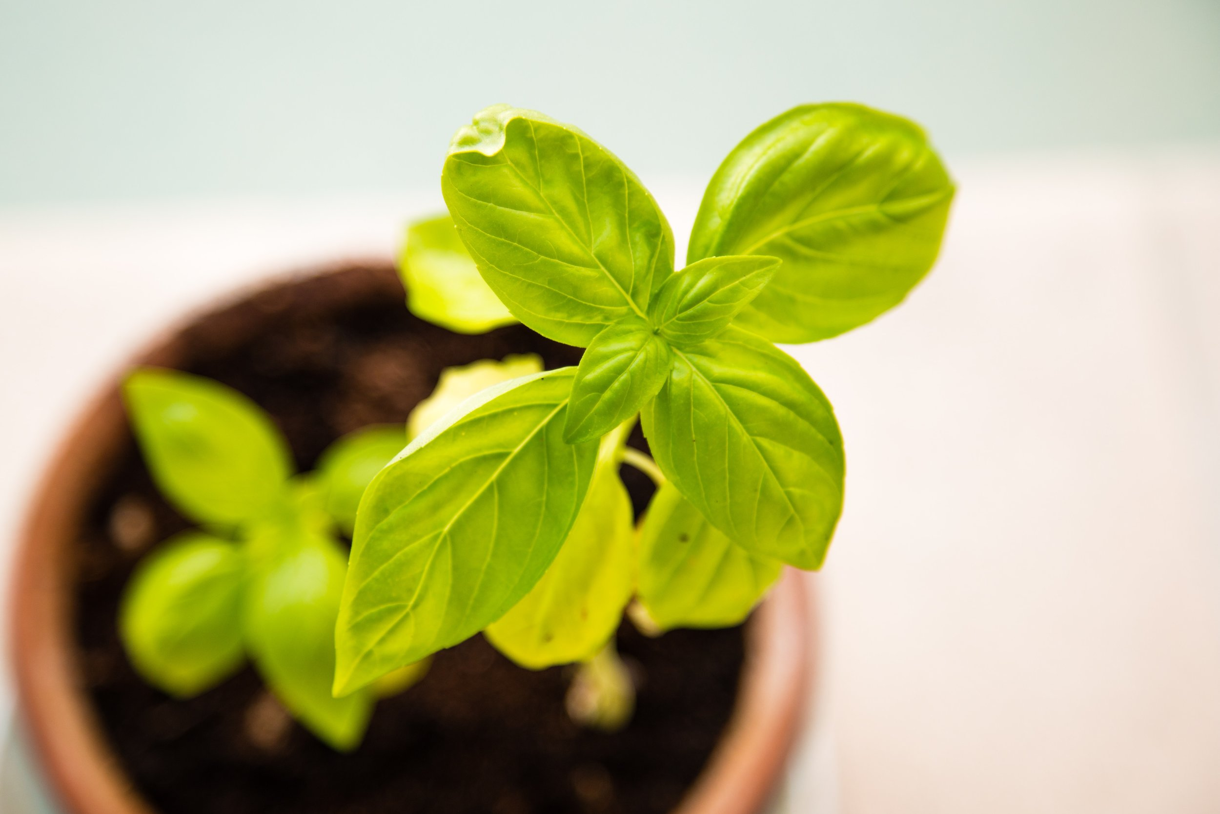basil-fresh-green-58460.jpg