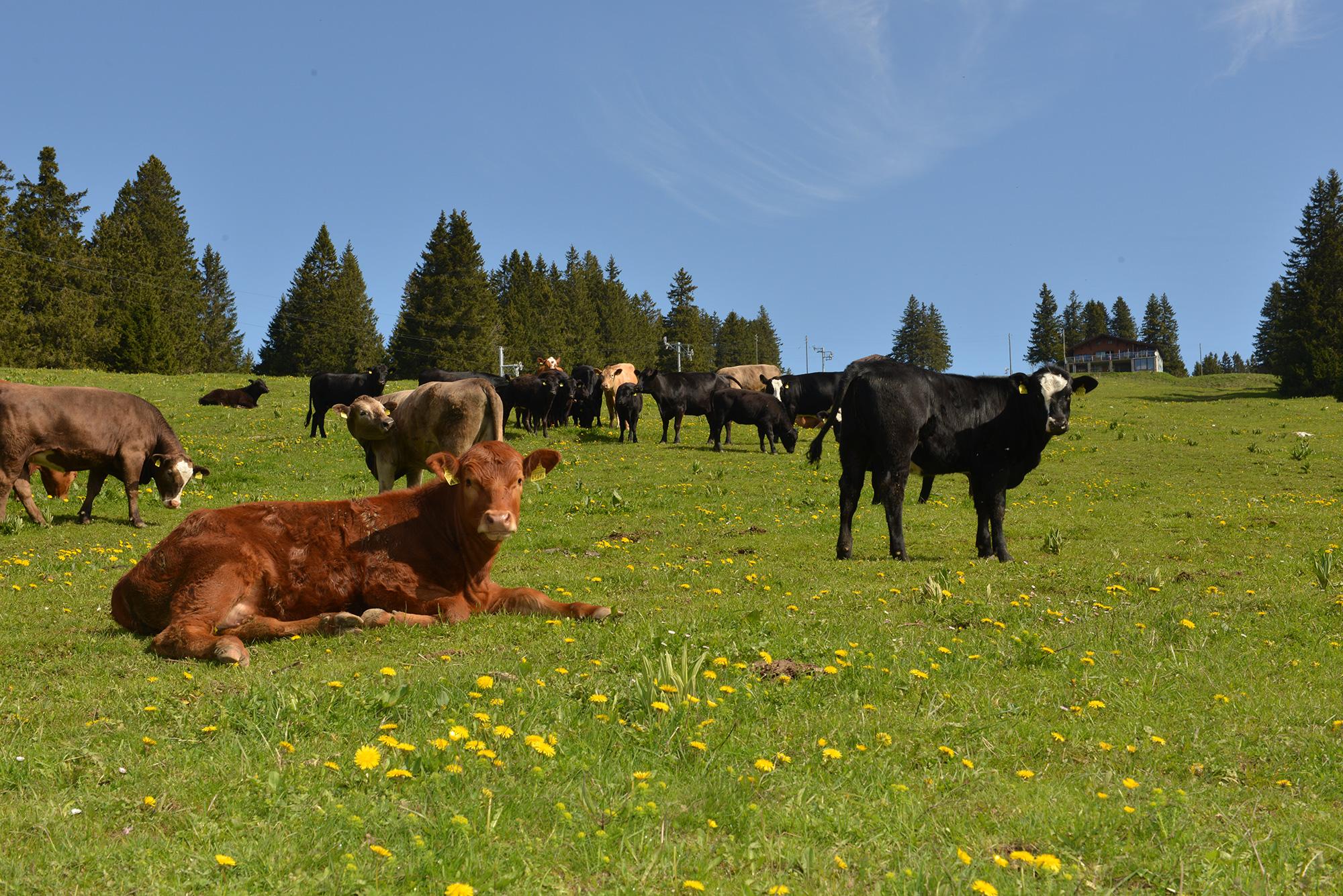 YlBR-Ste-Croix-Chalet-Les-Avattes-paturage-vaches-.jpg