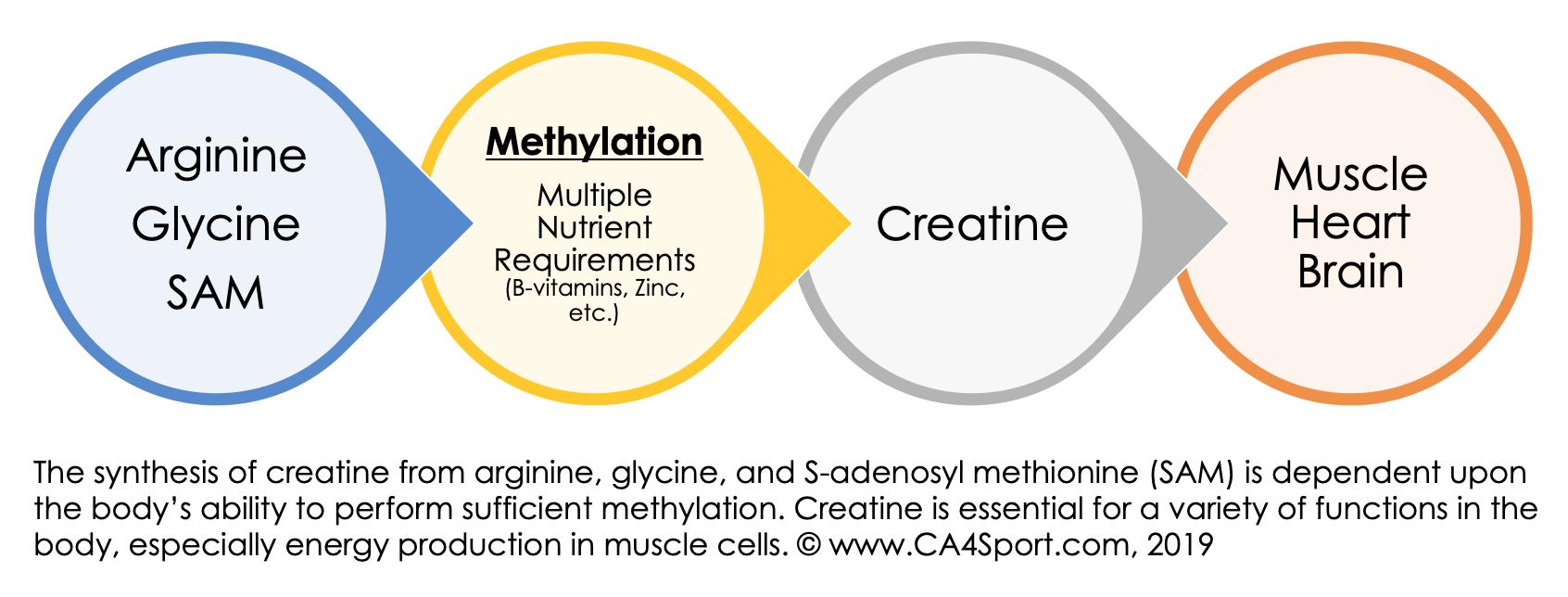 Methylation of Amino Acids.png
