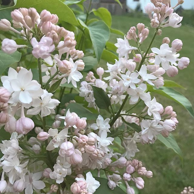 Beauty of Moscow lilac 😍