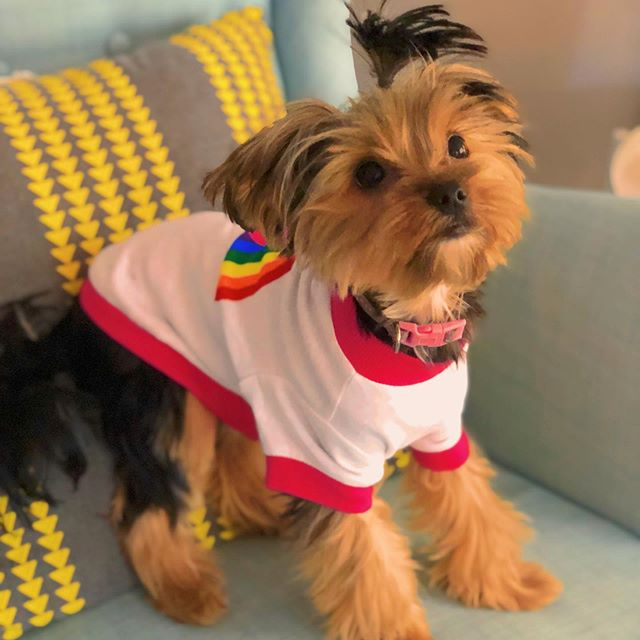 We are out of town this weekend, but happy #Pride Nashville from us and Miss Bettie Page ! 🌈 . . #Nashville #NashvillePride #pride #yorkiesofinstagram #BettiePage #LoveisLove