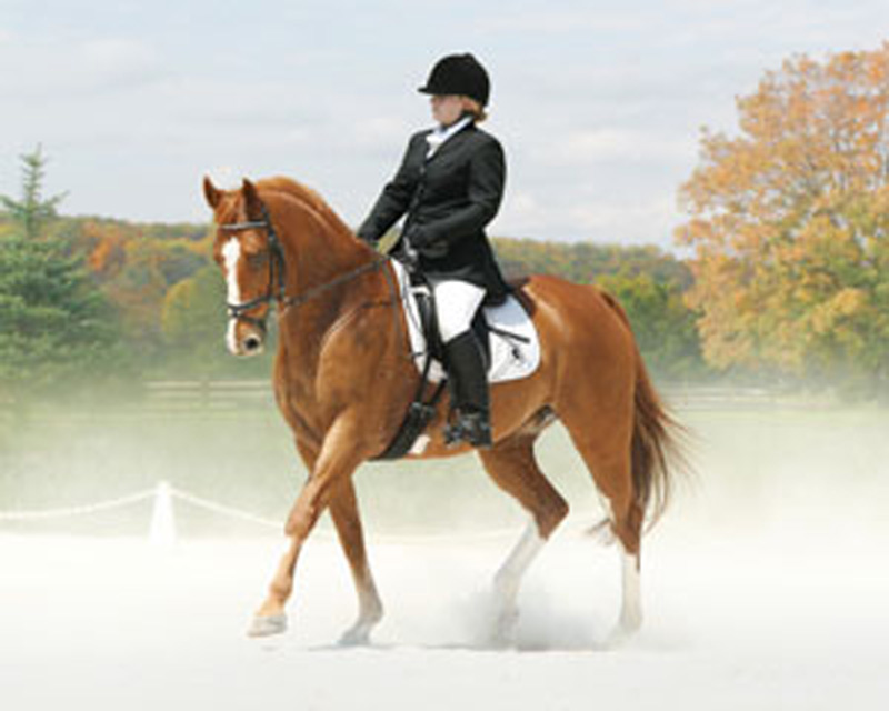 Dutch Gelding, Mozart - 3rd Level *Photo Credit: A Great Image!