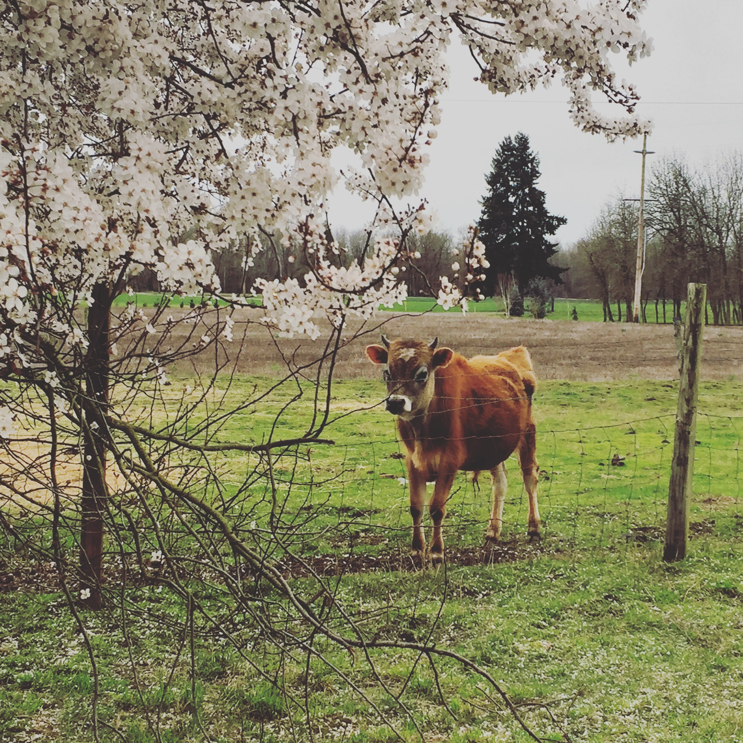 cow with blossoms.JPG