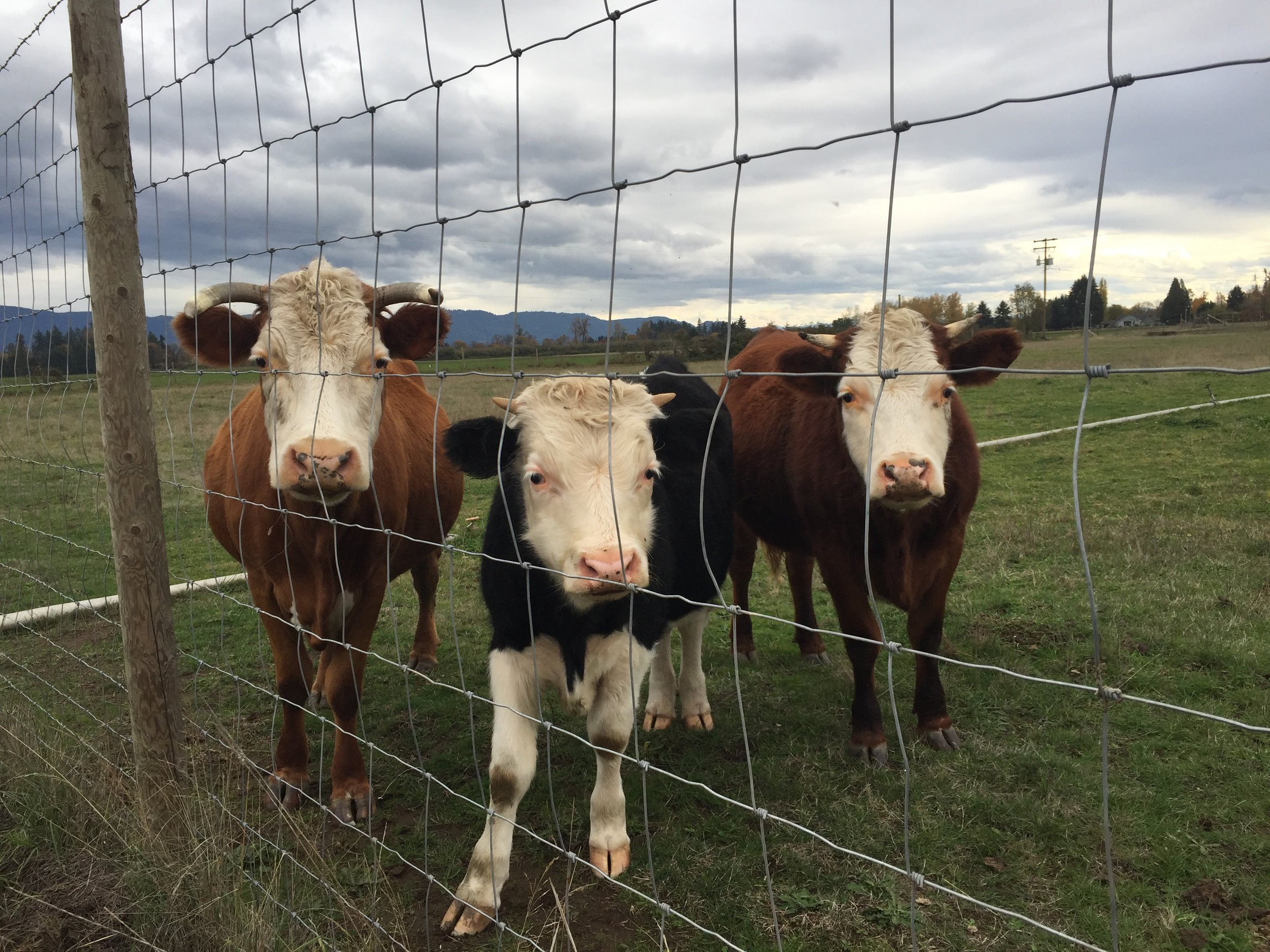 three cows.JPG