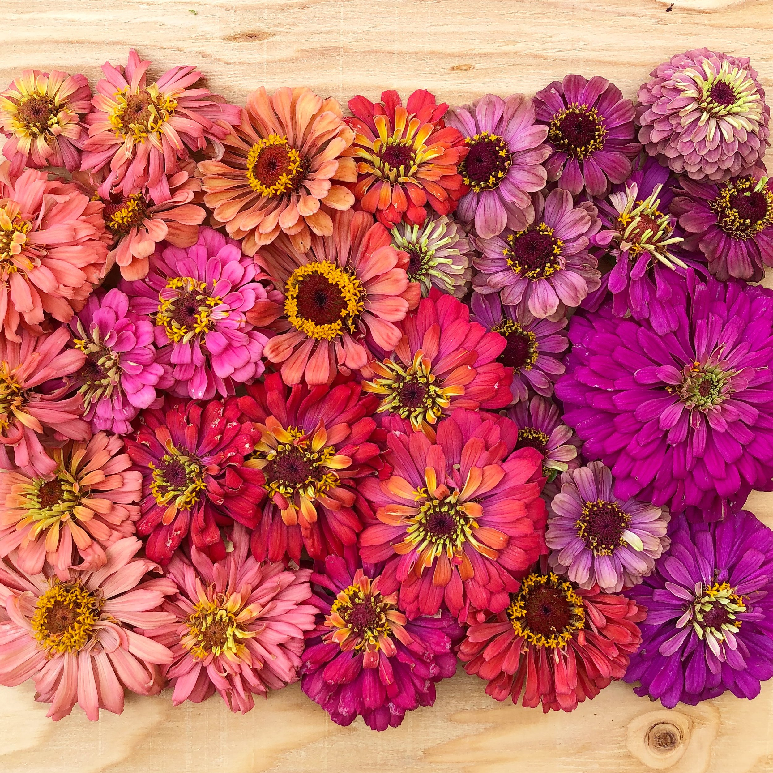 Meet the Flowers - At Petal Pink Flower Farm we are committed to growing unique and beautiful flowers without harming the soil or the creatures that live here. We use organic practices and never put chemicals on anything. Our children run through these fields, and we breathe in the dirt while cultivating the soil. We eat honey made by the bees pollinating our blooms. Our customers handle the stems and bury their noses in their petals. You never have to worry about our flowers containing yucky ingredients - we promise.