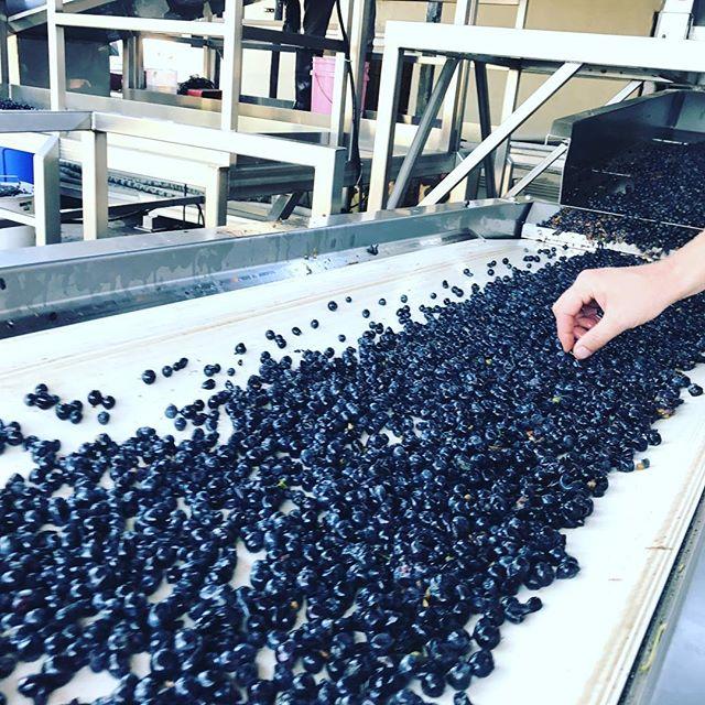 Sorting our beautiful Santa Cruz Pinot Noir!