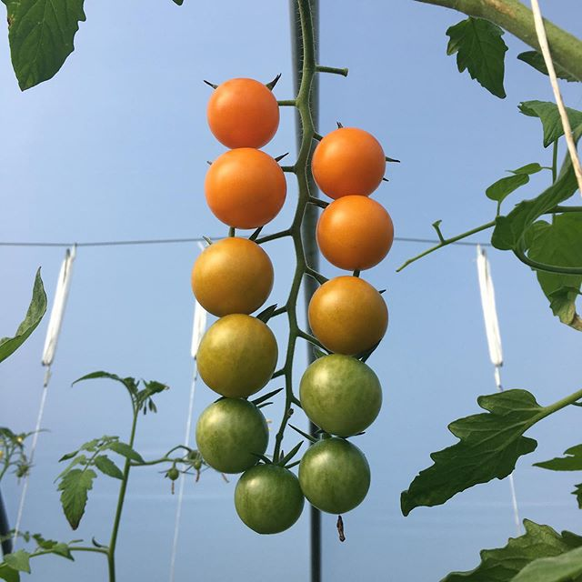 Beautiful sungolds like these won't be around much longer; appreciating them while they're here.