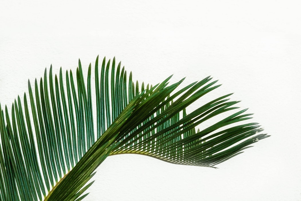 Palm frond on white background.jpg