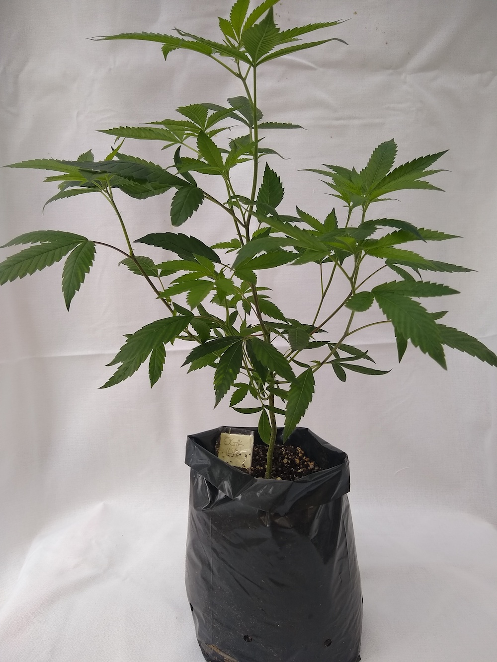 OG Kush - Indica/Hybrid  Genetics - (Emerald Triangle x Hindu Kush)  Pre-teen staged and pre-rooted in rock wool, planted in organic soil   Suggested retail  - $25 each