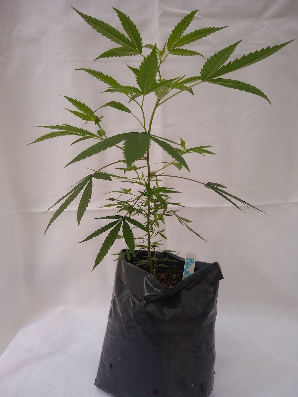 Bubba Cookies - Hybrid  Genetics - (Bubba Kush x Girl Scout Cookies)  Pre-teen staged and pre-rooted in rock wool, planted in organic soil   Suggested retail  - $25 each