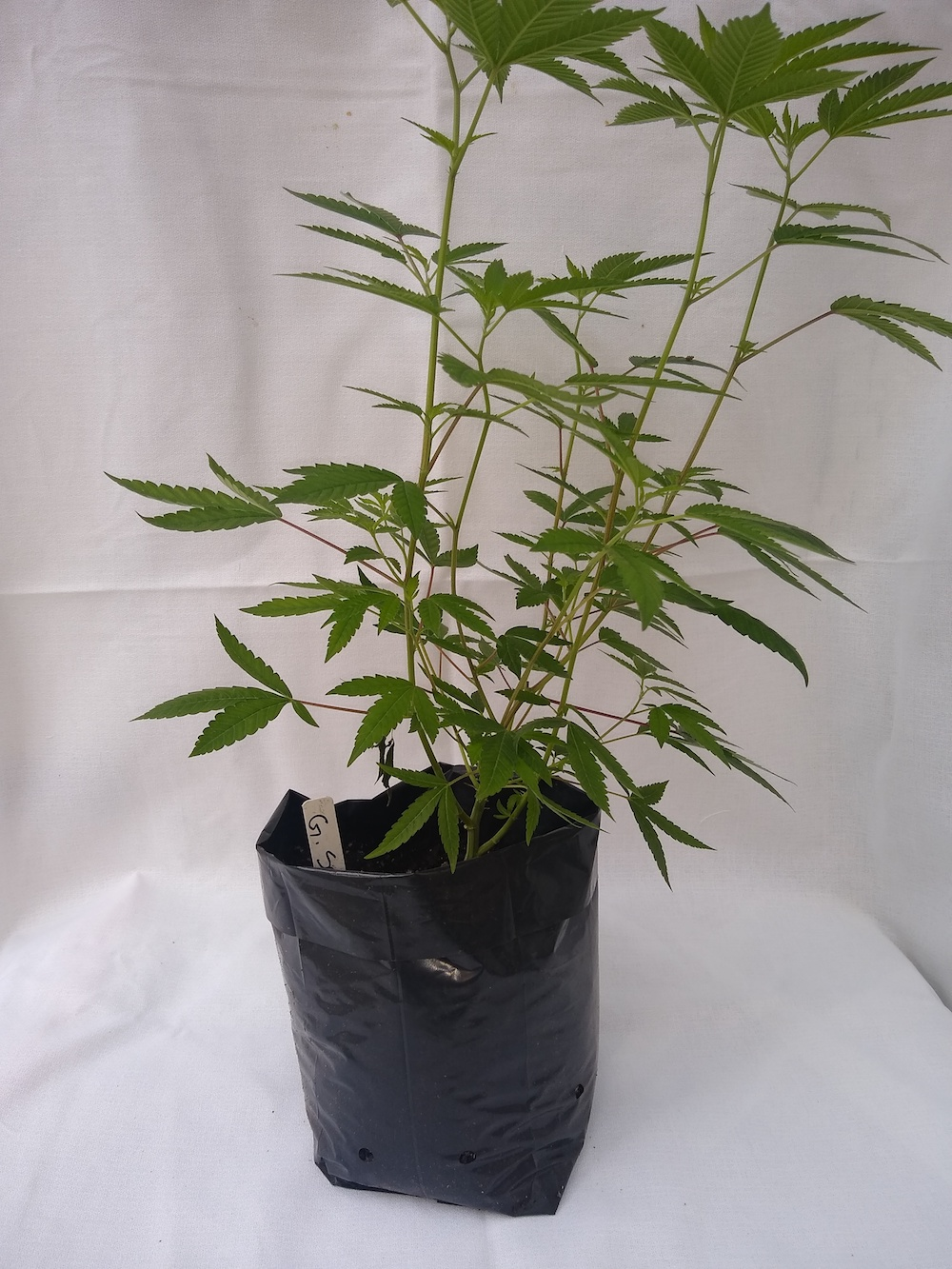 Gorilla Sap - Hybrid  Genetics - (Gorilla Glue x ?)  Pre-teen staged and pre-rooted in rock wool, planted in organic soil   Suggested retail  - $25 each