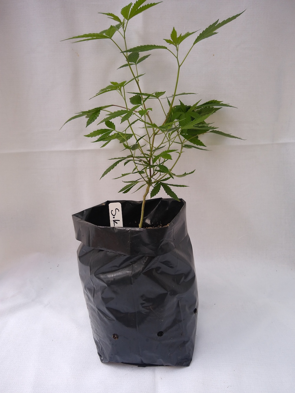 Sour Kush  - Hybrid  Genetics - (OG Kush x Sour Diesel)  Pre-teen staged and pre-rooted in rock wool, planted in organic soil   Suggested retail  - $25 each