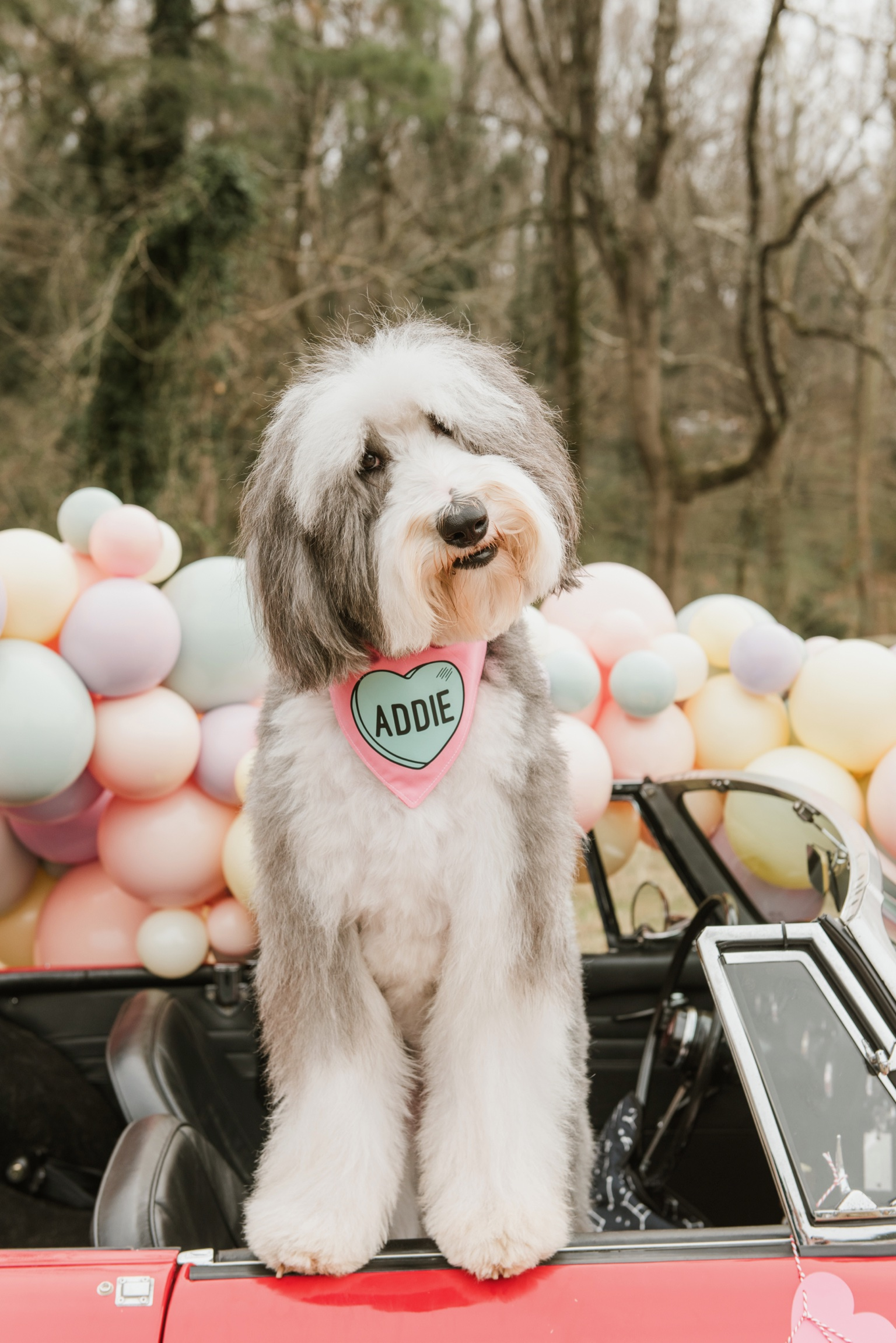 ADDIE - I am Addie! I am a 2 year old sheepadoodle. I am half old English sheepdog, half poodle, and all #ShaggyChic! I am always playful and a canine superdoodle. I love to meet new people and pups, explore town, and herd sheep — errr…my goldendoodle fur-brother, Oliver. My hobbies also include having my photos taken, doing therapy work, and eating dog cookies (but if you don't have any, human cookies will do just fine, thank you!)