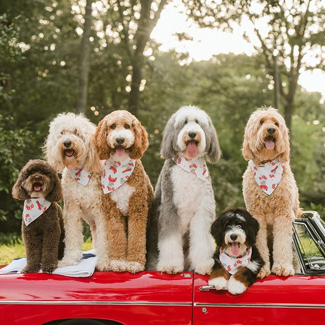 Humans can be a handful, so we are off on a doodle-only getaway weekend! Time to relax 😎 #thatdoodsquad Custom logo bandanas: @cliveandbacon @liwardian 📷: @shelbyraephotographs • Check our Stories for more!