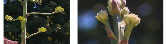 agave-bloom-two.jpg
