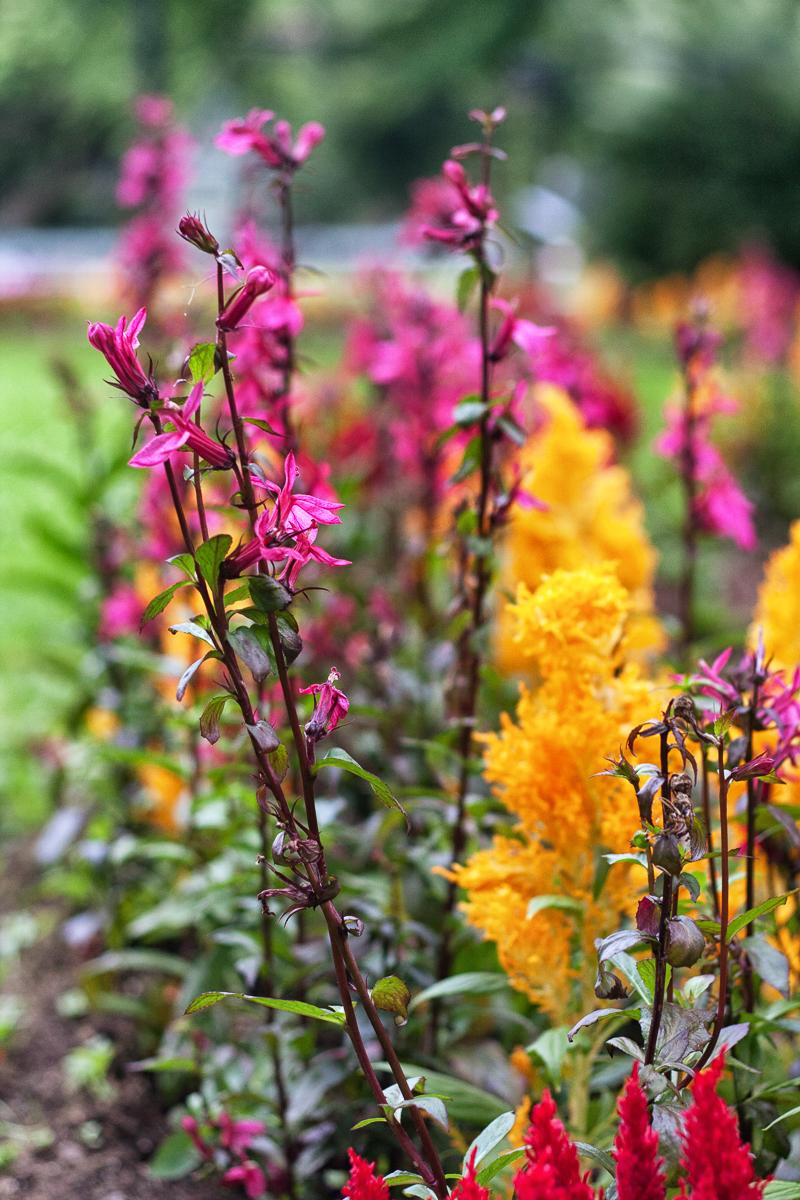 Perennial Lobelia