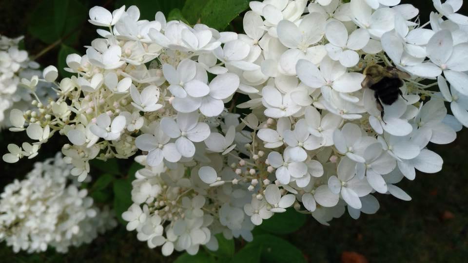 Hydrangea Hortensi