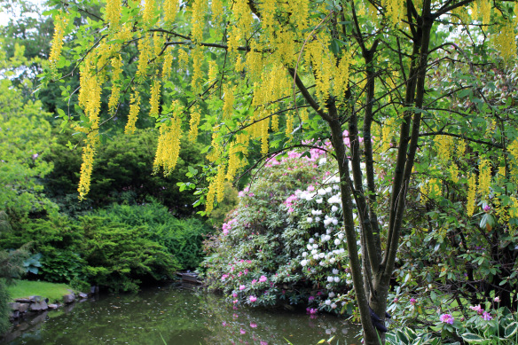 The beautiful and poisonous Laburnum tree (Golden Chain tree) in the lower pond beside the lower bridge in mid June.