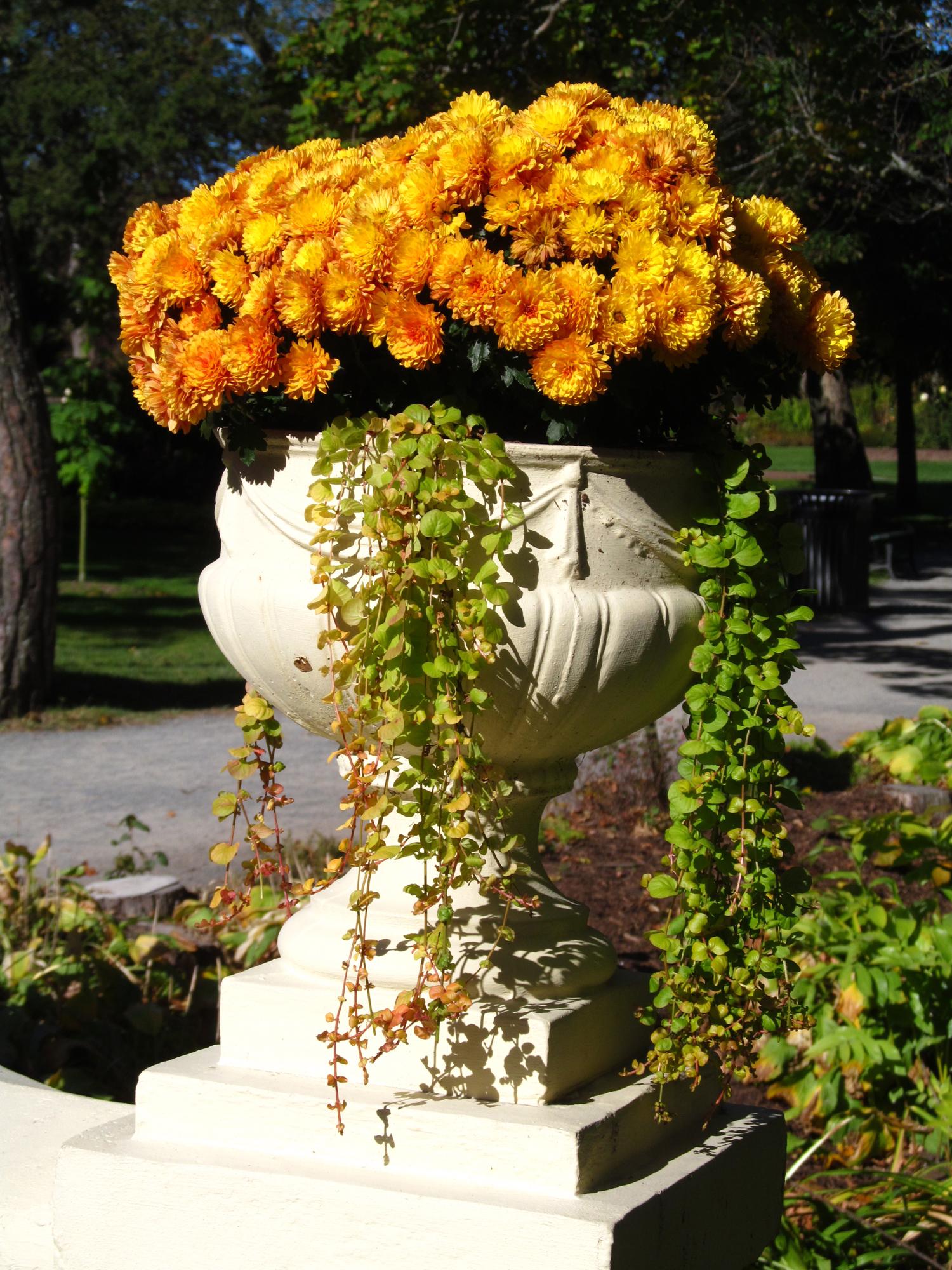 Chrysthanthemums