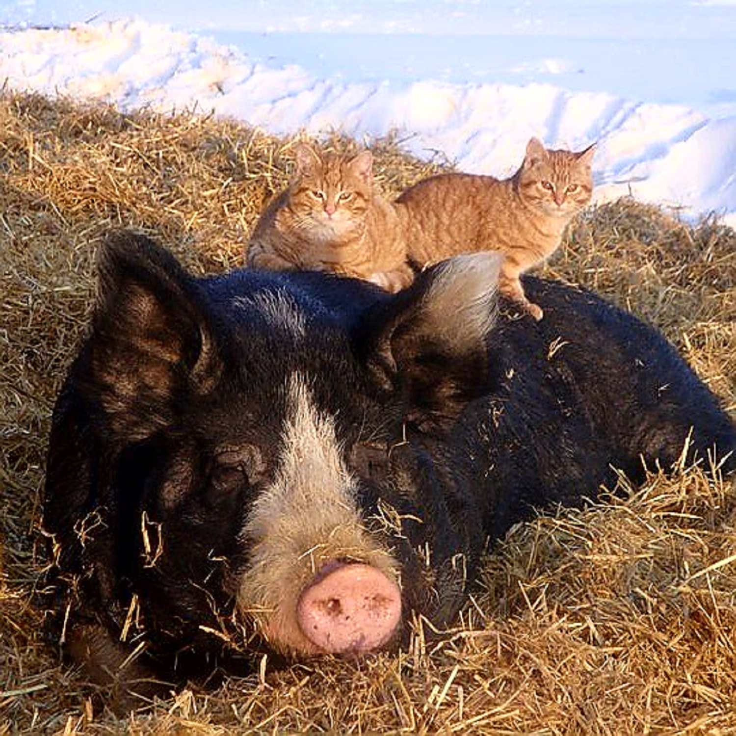 web page pic for pig and cats.jpg