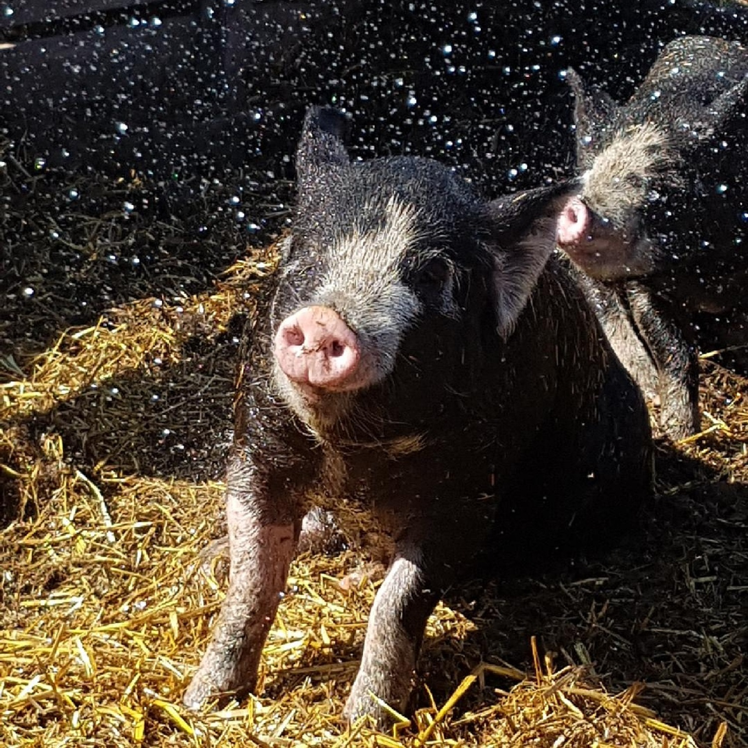 pig and water pic.jpg