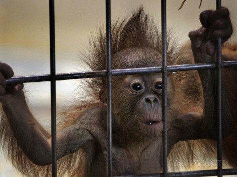young-orangutan-hold-on-to-the-bars-of-a-cage-at-the-duisburg-zoo