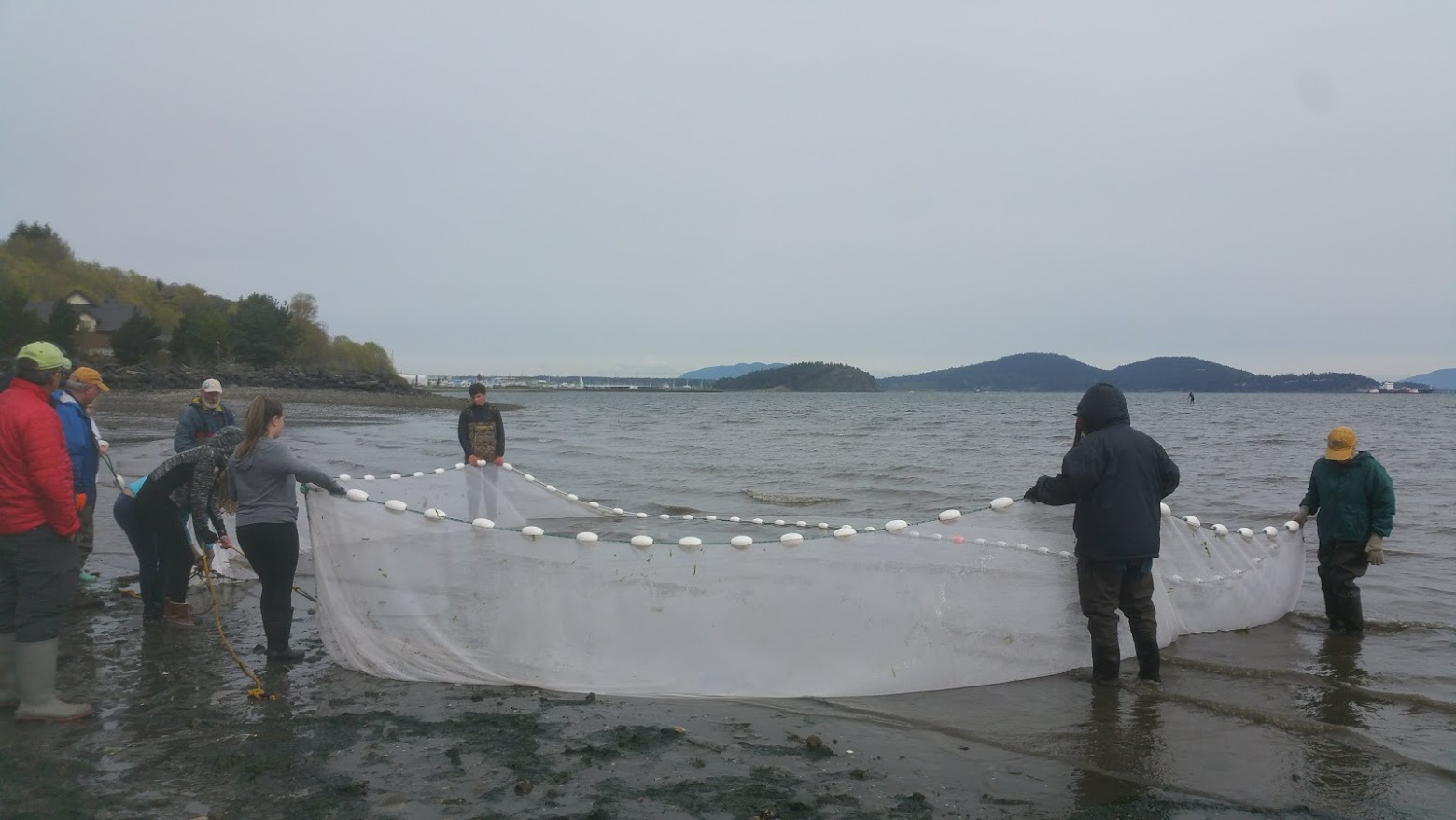 Conway School students beach seining to see if beach restoration is helping fish in Fidalgo Bay, WA