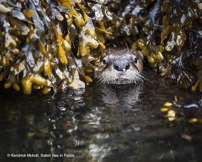 River otter hiding out between rockweed-covered rocks Photo by Kendrick-Moholt, Salish Sea In-Focus