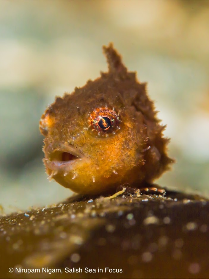 Male Pacific spiny lumpsucker, resting attached to blade of kelp.