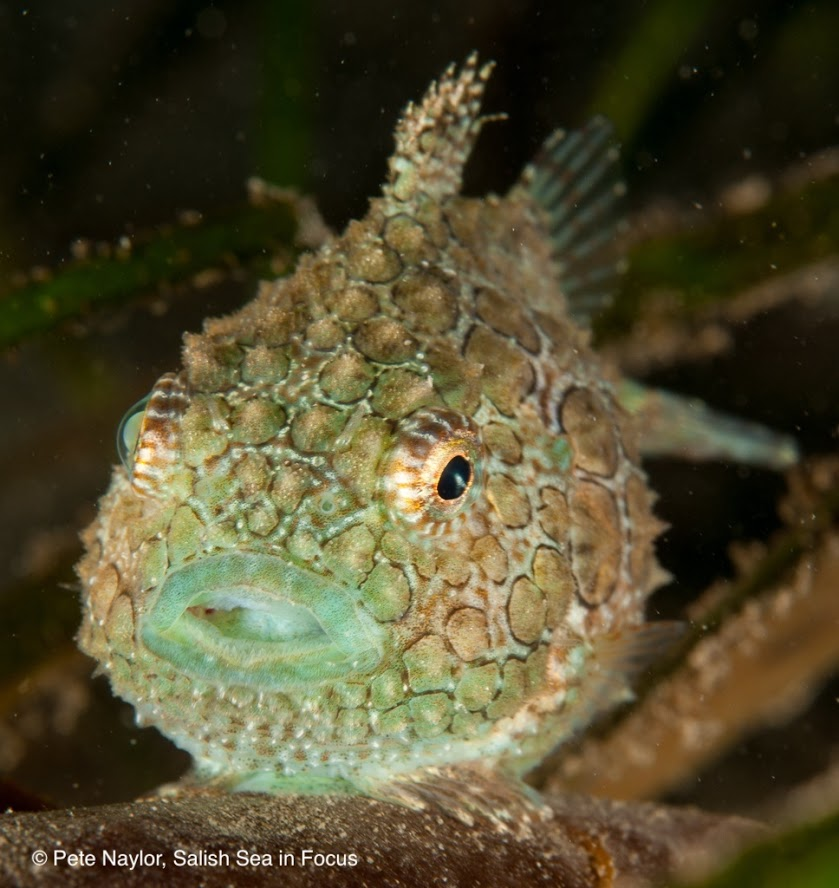 Female Pacific spiny lumpsucker. Notice lots of tubercles and great camouflage colors for hiding in eelgrass and seaweed.
