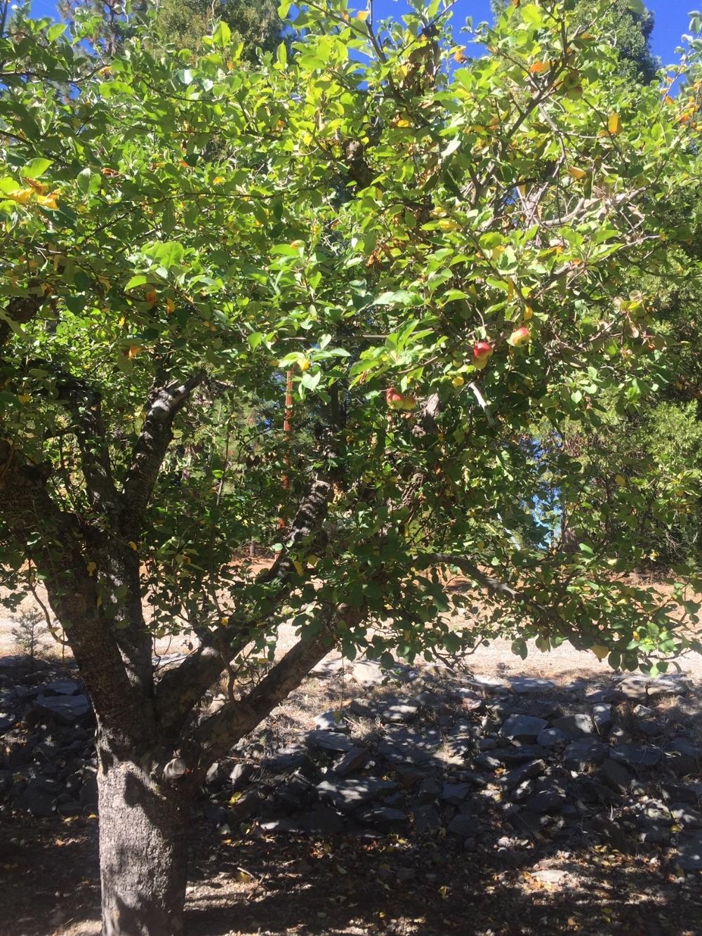 Beautiful old apple tree