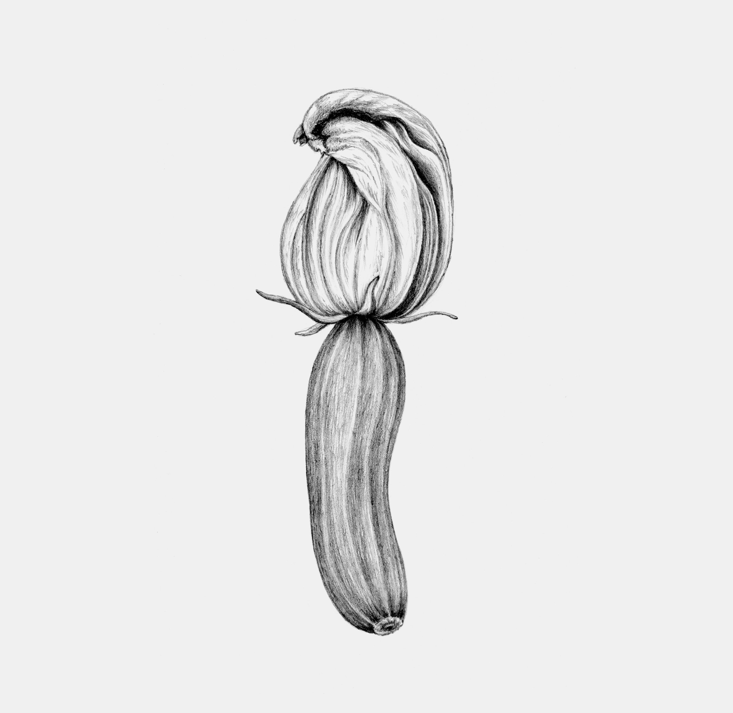 Zucchini/squash med blomst / Zucchini Blossom.  Anne Løvenskjold for Sigridsminde