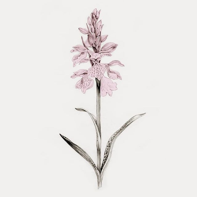 Marsh orchid. Drawing for the project #arternesaalborg. This project is all about spreading knowledge, amazement, and love of the nature just outside our own doorsteps. 💚 We want to highlight a number of flagship species from our local nature. A flagship species is a species selected to act as an ambassador for a defined habitat, in this case urban nature around the city of Aalborg. 💚 By doing so, we hope to open the eyes of fellow citizens to the wonders that we live among. To encourage people to cherish and protect what we have. . . . . #gøgeurt #beautiundermynose #aalborgkommune #voresaalborg #mitaalborg #visitaalborg #rethinkactivism  #bynatur #vildhave #vildehaver #naturhave #giftfrihave #biodiversity #biodiversitet #merenaturtætterepå #slipnaturenfri #wildlifegarden #urbanwildlife #bevarnaturen #natureconservation #naturbeskyttelse  #dknatur #dansknatur #dkgreen  #hverdagsaktivisme #everydayactivism #klimaansvar #bæredygtighed @sagerdersamler @rethinkactivism #arternesaarhus