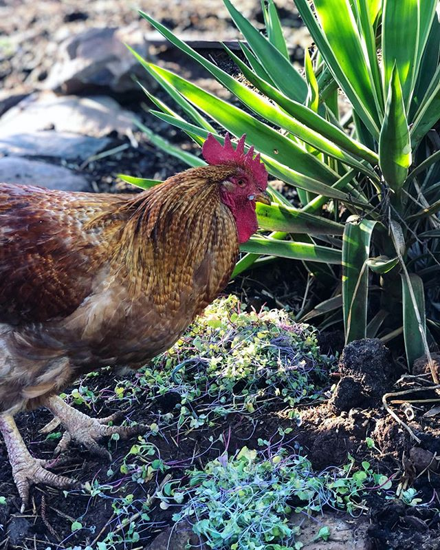 The chickens feasting on some micro-goodness 🌱🌿☘️ #sustainability #sustainableliving #farmlife #chickens #food #wastenotwantnot #olief