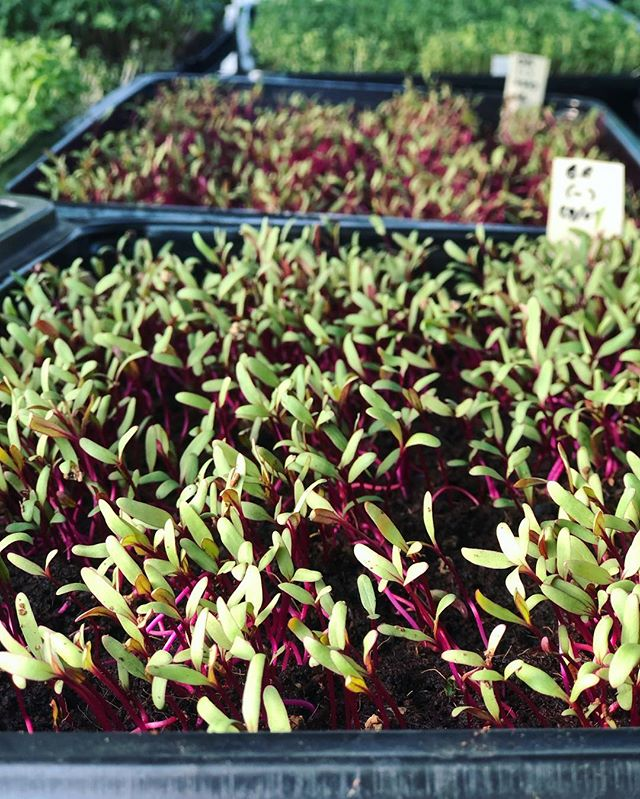 Getting our beetroot germination rate close to perfection! The secret?.. lots of love 😉🌱♥️🌱 #sustainableliving #sustainability #beetroot #microgreens #olief #germination