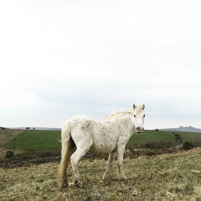 Dartmoor pony 🐎 #dartmoor #pony