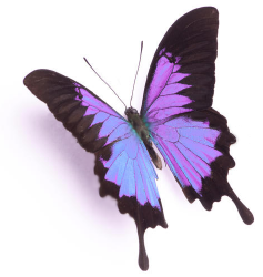 BW - Butterfly 4.png