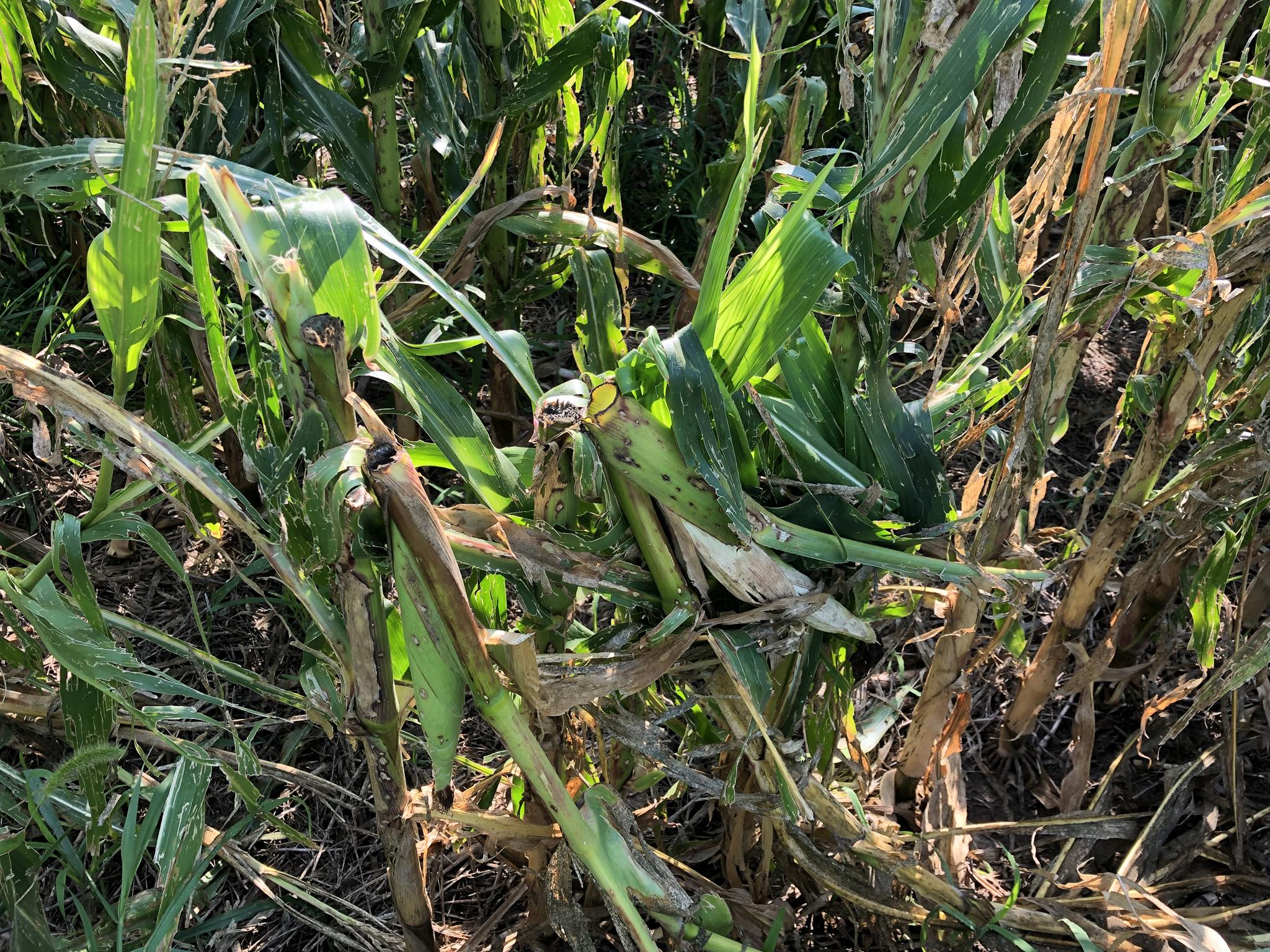 This Antelope county producer easily maxed out his production plan policy with extreme winds and hail in late July 2018.