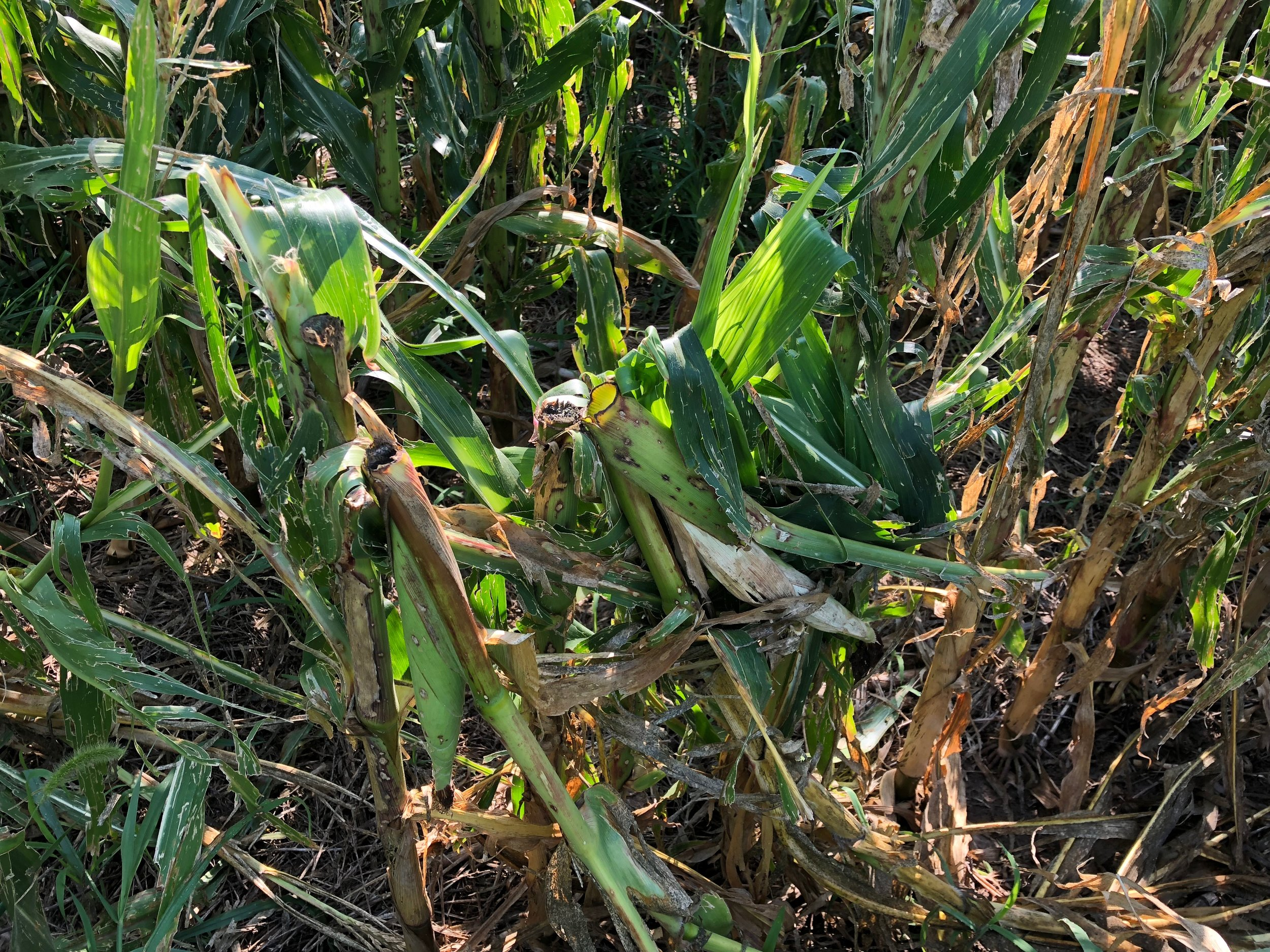 This Antelope county corn looked phenomenal, but was subject to extreme winds and hail causing huge losses.