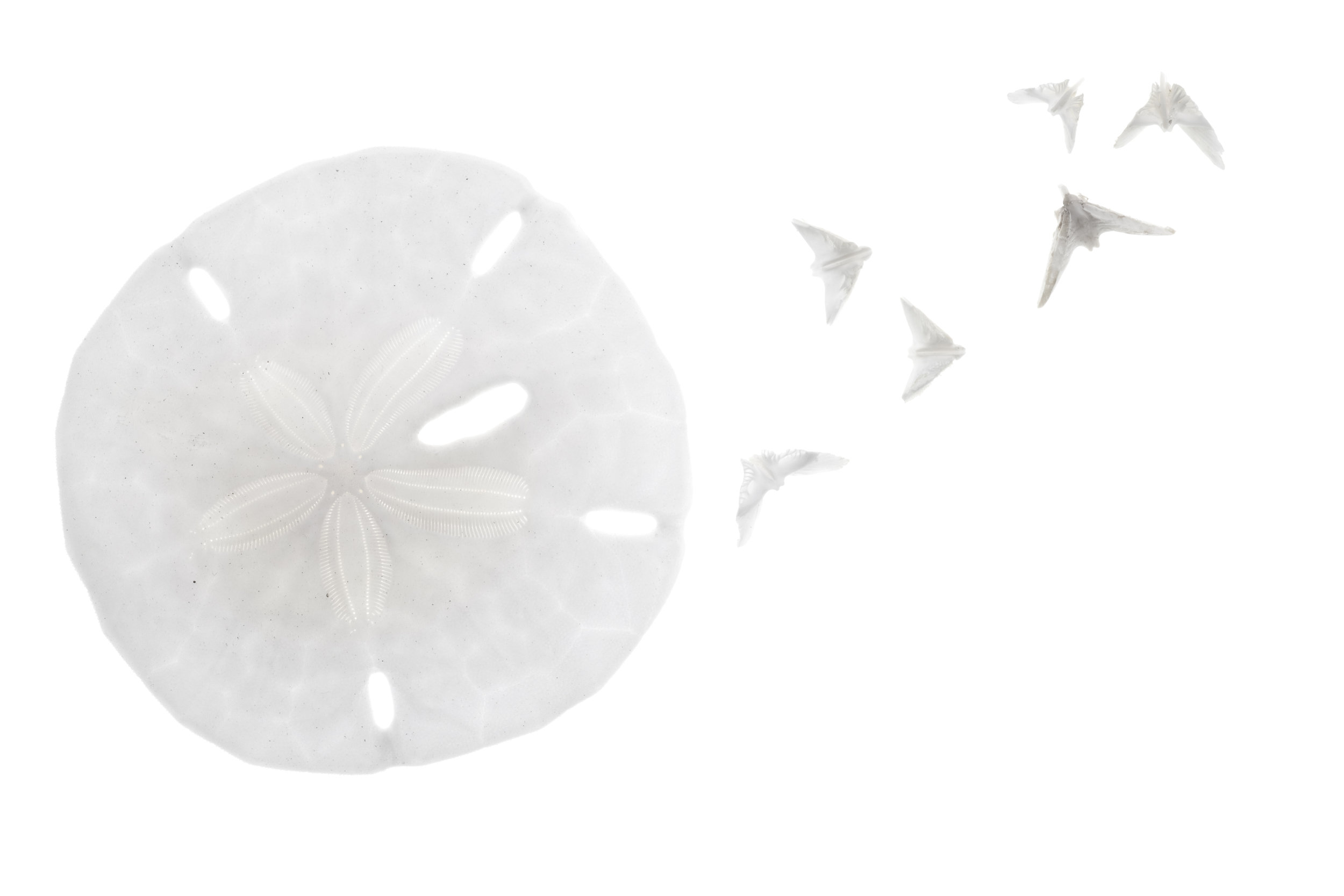 Image of a white sand dollar with doves for Tammy Dobbs Arroyo Grande contact information