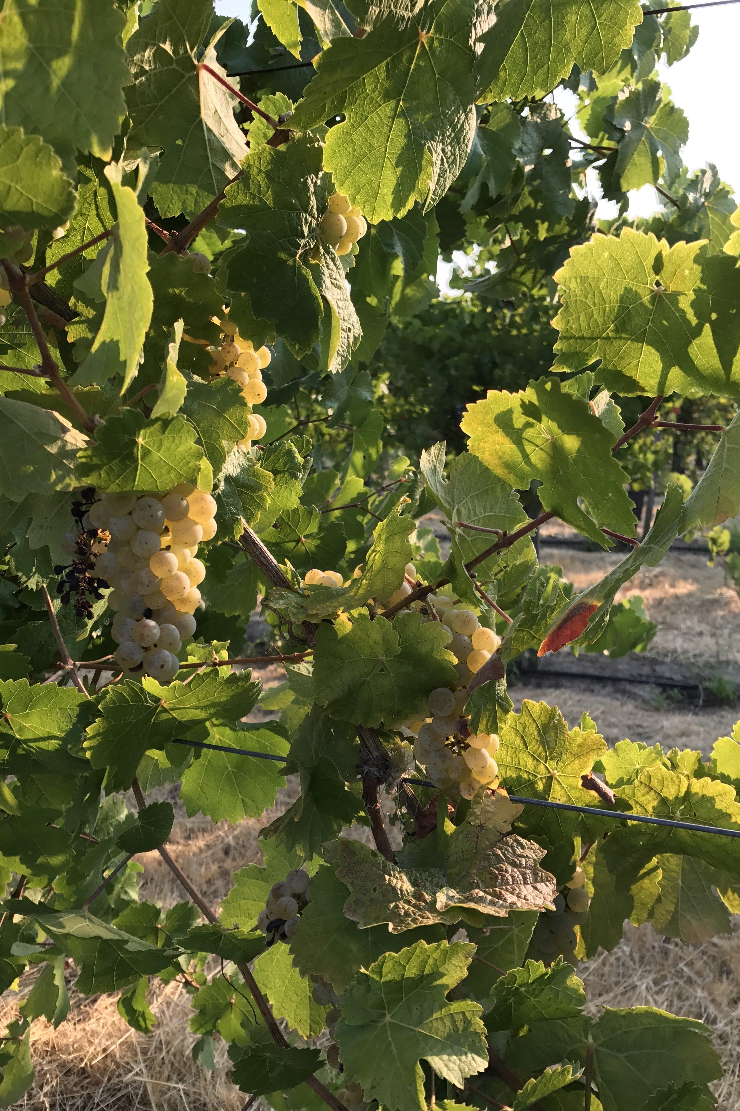 Nelson family vineyards -