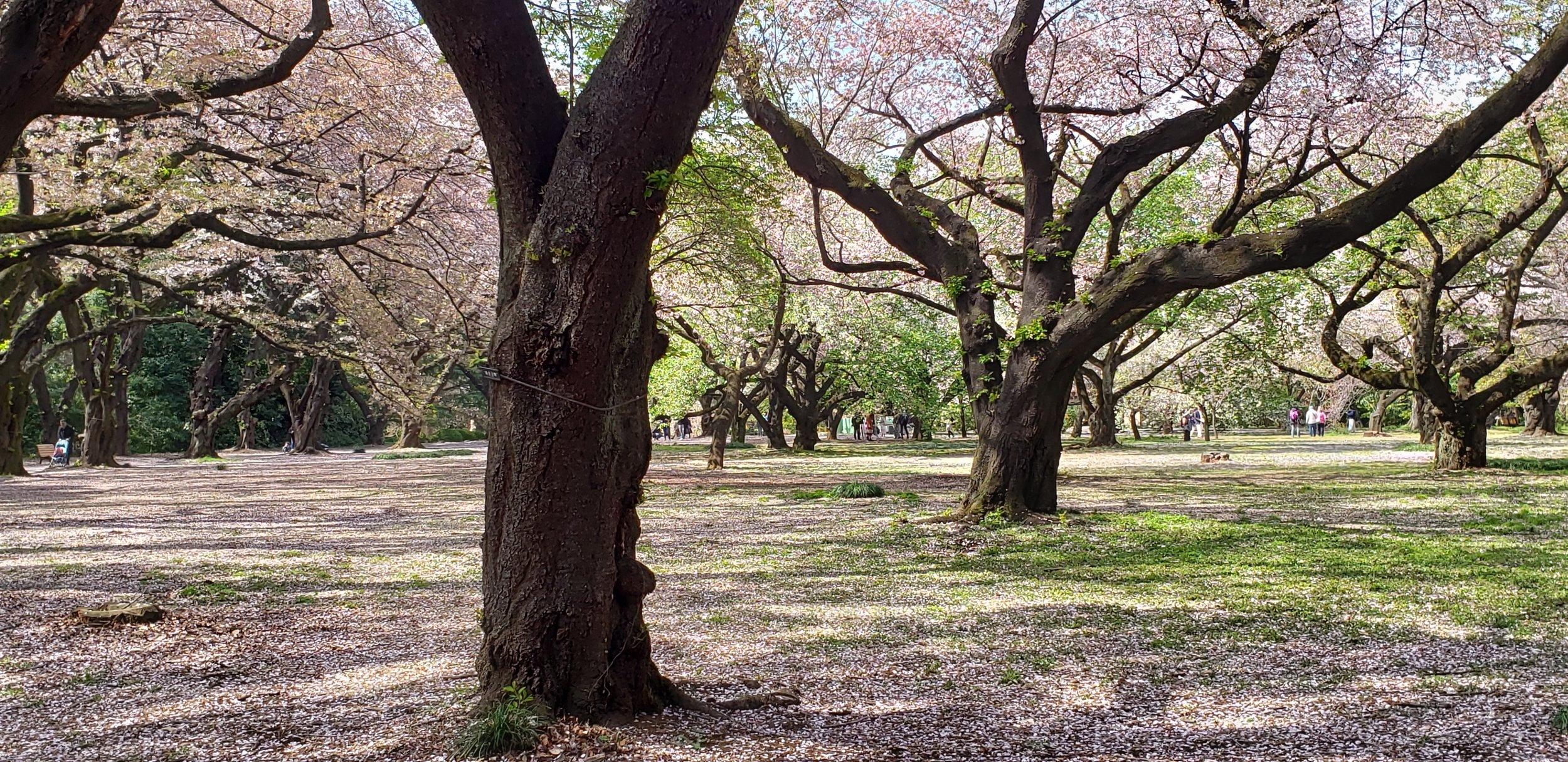 From my trip to Shinjuku Gardens, April 2019